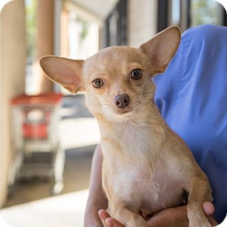 Chihuahua Mix Dog for adoption in Montclair, California - Beatrice