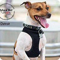 Jack Russell Terrier Dog for adoption in Freeport, New York - Detroit