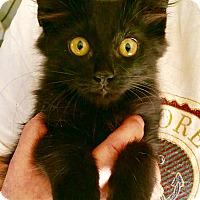 Domestic Mediumhair Kitten for adoption in Chandler, Arizona - Norman