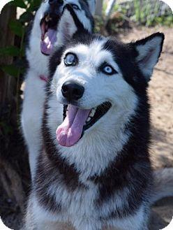 Siberian Husky Dog for adoption in Jupiter, Florida - Keiko