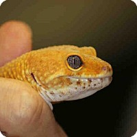 Gecko for adoption in Waterford, Virginia - OLIVER