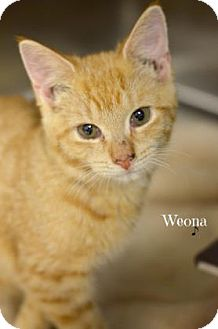 Domestic Shorthair Kitten for adoption in Niagara Falls, New York - Weona