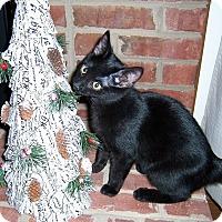 Adopt A Pet :: Brianna-DECLAWED kitten - Taylor Mill, KY
