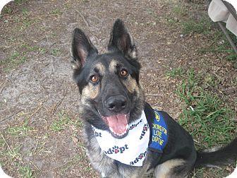German Shepherd Dog Dog for adoption in Green Cove Springs, Florida - Koda