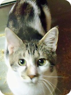 Domestic Shorthair Cat for adoption in Riverhead, New York - Shiloh Boy
