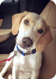 Beagle Mix Dog for adoption in Gainesville, Florida - Blue