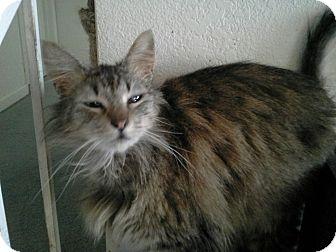 Domestic Mediumhair Cat for adoption in San Ramon, California - Gracie