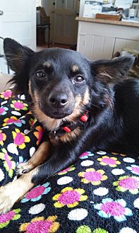 Dachshund/Papillon Mix Dog for adoption in North Hollywood, California - Abbey