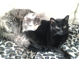 Domestic Mediumhair Cat for adoption in Madisonville, Louisiana - Voodoo