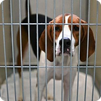 Foxhound Mix Dog for adoption in Folsom, Louisiana - Spottie