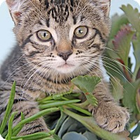 Adopt A Pet :: Sasha - Yuba City, CA