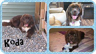 Newfoundland Puppy for adoption in DOVER, Ohio - Koda