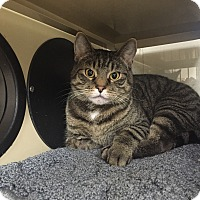 Domestic Shorthair Cat for adoption in New Castle, Pennsylvania - Tiger