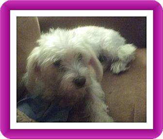 Bichon Frise Mix Dog for adoption in Tulsa, Oklahoma - Adopted!!Fiona - OH