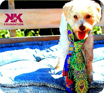Poodle (Miniature) Mix Dog for adoption in Beverly Hills, California - Pebbles