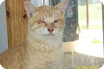 Domestic Shorthair Cat for adoption in Mexia, Texas - Hans