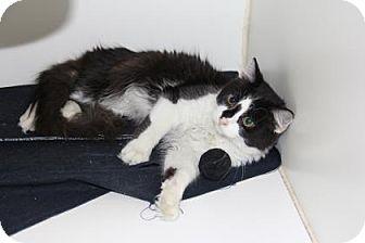 Domestic Mediumhair Cat for adoption in Greensboro, North Carolina - Aldean