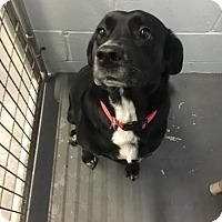 Adopt A Pet :: Mia - Stanton, MI