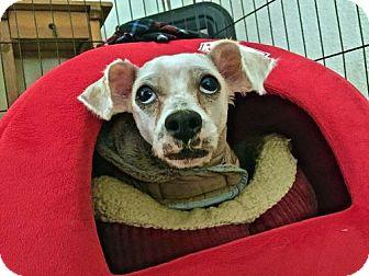 Maltese Mix Dog for adoption in Portland, Oregon - Billy Bob