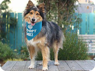 Sheltie, Shetland Sheepdog/Australian Shepherd Mix Dog for adoption in Pacific Grove, California - Nikky Aussie