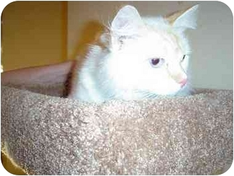 Ragdoll Cat for adoption in Chattanooga, Tennessee - Isaac