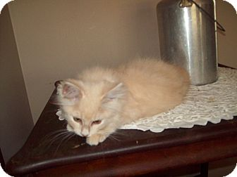 Domestic Longhair Kitten for adoption in Dover, Ohio - Sid