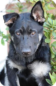 German Shepherd Dog Mix Puppy for adoption in Los Angeles, California - York von Yoda