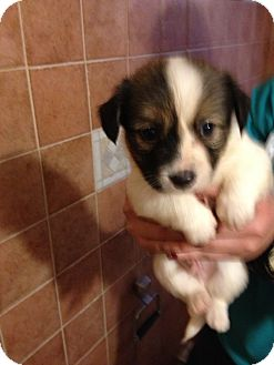 Papillon Mix Puppies Adopted Puppy Key Biscayne Fl
