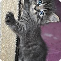 Adopt A Pet :: Lion (long haired kitten) - New Smyrna Beach, FL