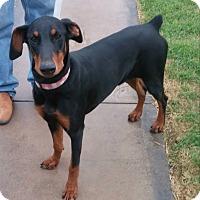 Adopt A Pet :: Gucci - Fort Worth, TX