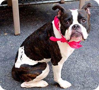 Boxer/Labrador Retriever Mix Dog for adoption in North Wales, Pennsylvania - Shay