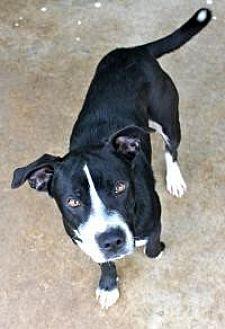 Labrador Retriever Dog for adoption in Memphis, Tennessee - Cash
