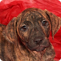 Adopt A Pet :: Tori LabBoxMix - St. Louis, MO