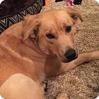 Adopt A Pet :: Josi - Frisco, TX