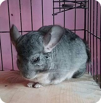 Chinchilla for adoption in Granby, Connecticut - Mattie