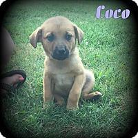 Adopt A Pet :: Coco - Denver, NC