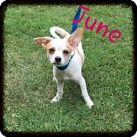 Adopt A Pet :: June ( Pom dc) - Spring Valley, NY