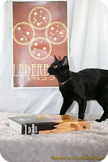 Domestic Shorthair Kitten for adoption in Glastonbury, Connecticut - Esther Lederberg