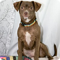 Adopt A Pet :: Maya - Little Rock, AR