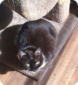 Domestic Shorthair Cat for adoption in Aurora, Indiana - Shasta