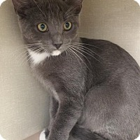 Domestic Shorthair Kitten for adoption in Walnut Creek, California - Scout