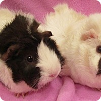 Guinea Pig for adoption in Steger, Illinois - Angelica