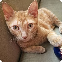 Domestic Shorthair Kitten for adoption in Arlington/Ft Worth, Texas - Sprout