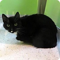 Domestic Shorthair Cat for adoption in Janesville, Wisconsin - Kevin