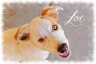 Australian Shepherd/Labrador Retriever Mix Dog for adoption in Chandler, Arizona - DOTTIE - Sweetheart!