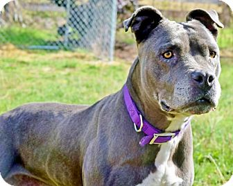 American Staffordshire Terrier/Boxer Mix Dog for adoption in Snohomish, Washington - Pebbles,lovable & lively!