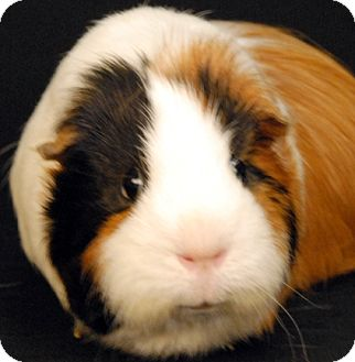 Guinea Pig for adoption in Newland, North Carolina - Peanut