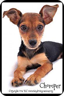 Terrier (Unknown Type, Medium) Mix Puppy for adoption in Simi Valley, California - Chomper