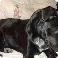 Australian Cattle Dog/Labrador Retriever Mix Dog for adoption in Keyport, New Jersey - Annie