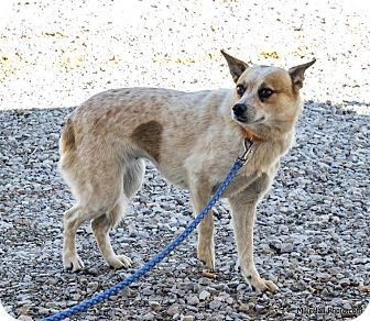 Blue Heeler Mix Dog for adoption in Minneapolis, Minnesota - Ginger